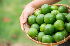 Group of organic lime on tree Royalty Free Stock Images