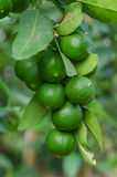 Group of organic lime on tree. Group of lime on tree stock images