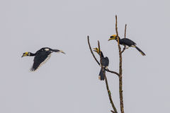 Group of Oriental pied hornbill(Anthracoce ros albirostris) Royalty Free Stock Photos