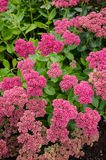 Group of orpine plants in blossom Stock Image