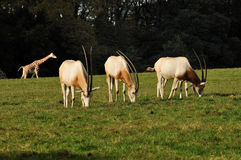 A group of Oryx eating grass Royalty Free Stock Images