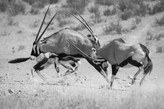 Group of Oryx fight for dominance in the hot Kalahari sun artist. Ic conversion Royalty Free Stock Images