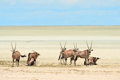 Group of oryx gazelle Stock Image
