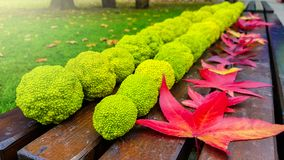 Group of osage oranges fruit maclura pomifera on a wooden bench stock photo