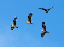 Group of Osprey Royalty Free Stock Photography