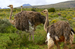 Group of Ostrich in South Africa. Group of Ostrich on an Ostrich Farm in South Africa (Struthio Camelus Royalty Free Stock Photos