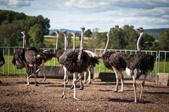 Group of ostriches Stock Photos