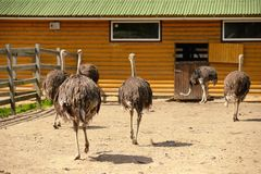 Group of ostriches on a farm in sunny day Stock Photos