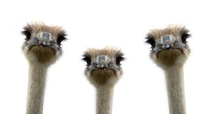 A group of ostriches isolated on white background royalty free stock photography