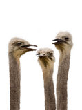 A Group of Ostriches Meeting Together Stock Image