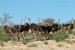 Ostriches in natural habitat - South Africa royalty free stock photos