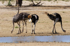 Group of ostriches at a waterhole in the dry desert Stock Photo