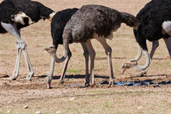 Group of ostriches at a waterhole in the dry desert Stock Images