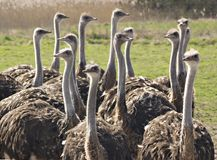 Group of ostrichs. On a farm Royalty Free Stock Image