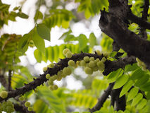 A group of otaheite gooseberry, phyllanthus acidus on the tree, Royalty Free Stock Photography
