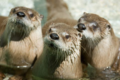 Group of otters. Three otters. Focus on the on in the middle Royalty Free Stock Image