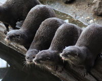 group otters Stock Photos