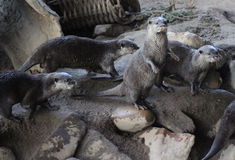 Group otters Royalty Free Stock Image