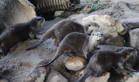 Group otters Royalty Free Stock Photos