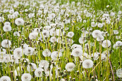 Group overblown dandelion flowers in the spring Royalty Free Stock Image