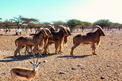 Group of Ovis ammon mountain sheep in a safari park on the island of Sir Bani Yas, United Arab Emirates stock images