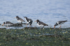 Group of Oystercatchers Royalty Free Stock Images