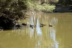 Pacific black ducks. The group of pacific black ducks are swimming in the billabong royalty free stock photography