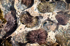 Group of pacific sea urchins Stock Images