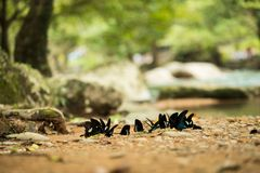 Group pack of double black butterflies flying