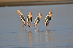Group of painted stork bird. Four painted stork bird standing in the water of river. Beautiful and natural view stock photos