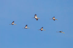 Group of Painted Stork Royalty Free Stock Photography