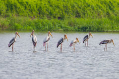 Group of Painted Stork Royalty Free Stock Photo