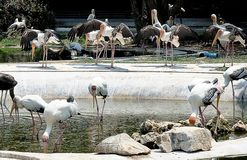 Group of Painted Storks Bird in Park Stock Image