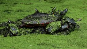 Group of Painted Turtles on Log. Group of Painted Turtles Resting on Log stock footage