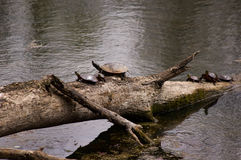 Group of painted turtles. Royalty Free Stock Photography