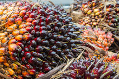 The group of palm seed for palm oil Royalty Free Stock Images