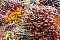 The group of palm seed for palm oil Stock Photography