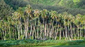 Group of Palm Trees. On a tropical island Stock Images