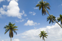 Group of palm trees. Taken in Samoa Stock Images