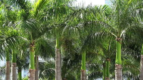 Group of palm trees in a city 4K. Natural display stock footage