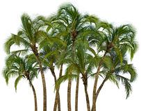 Group of palm trees on white background Stock Photo