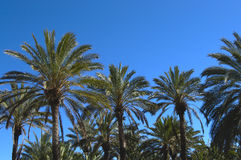 Group of palm trees Royalty Free Stock Images