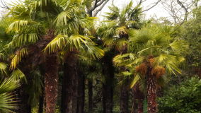 Group of palm trees. The south coast of Crimea stock video footage