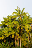 Group of palm trees Royalty Free Stock Photo