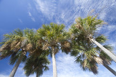 Group palm trees  under blue sky Stock Photo