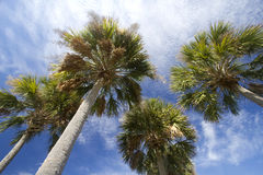 Group palm trees  under blue sky background Royalty Free Stock Photo