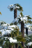 Group of palmtrees with snow on it. At Lugano On Switzerland Royalty Free Stock Photography