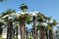 Group of palmtrees with snow on it. At Lugano On Switzerland Stock Photos