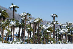 Group of palmtrees with snow on it. At Lugano On Switzerland Stock Photography