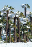 Group of palmtrees with snow on it Royalty Free Stock Photography